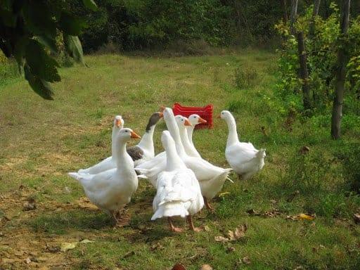 asti-geese