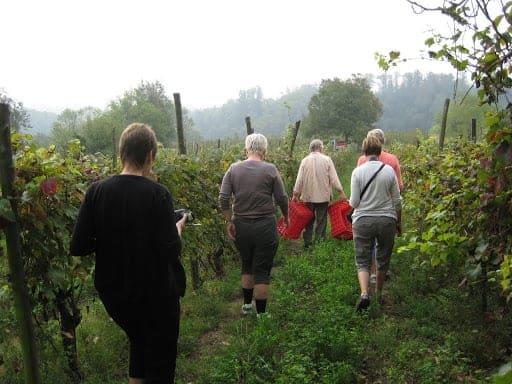 asti-grape-harvest