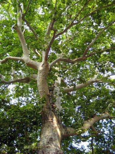 castello-gardens-tree