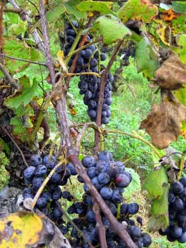 piedmont-grapes