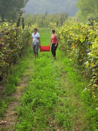 returning-from-the-grape-harvest