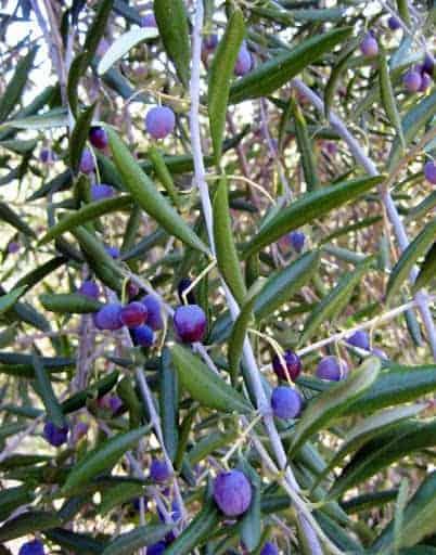 500-year-old-olive-trees-tuscany-2