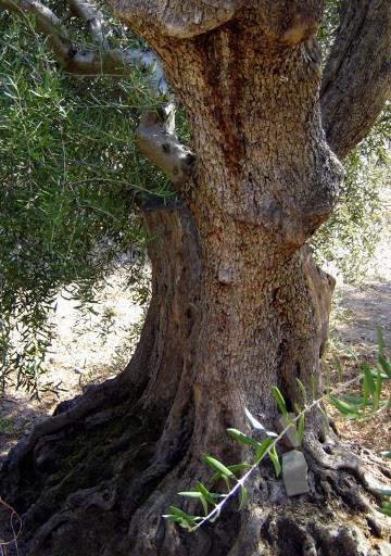500-year-old-olive-trees-tuscany-3
