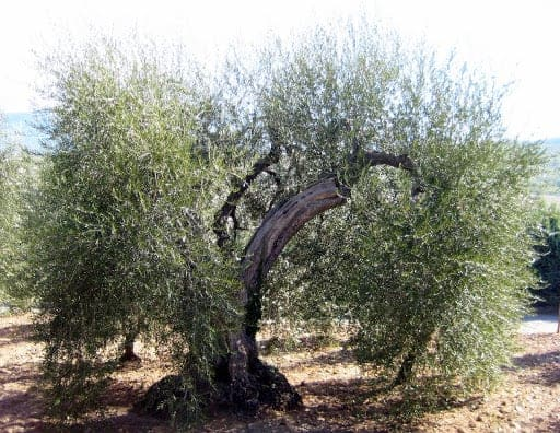 500-year-old-olive-trees-tuscany