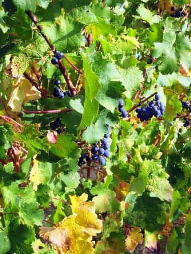 sangiovese-grape