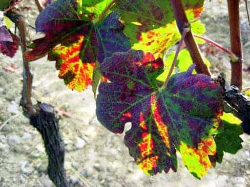 tuscan-grape-leaf