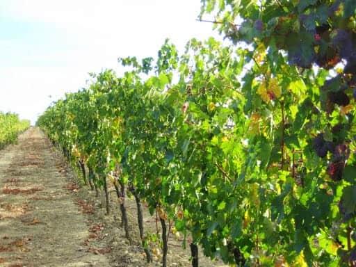 tuscan-vineyard