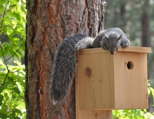 Squirrel Snoozing on the Bird House