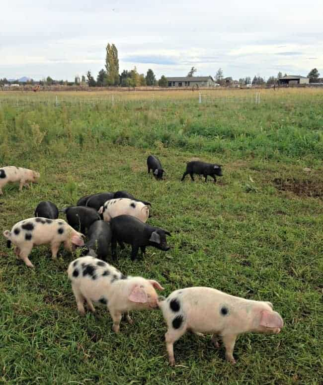 Gunpowder-Ranch-Piglets