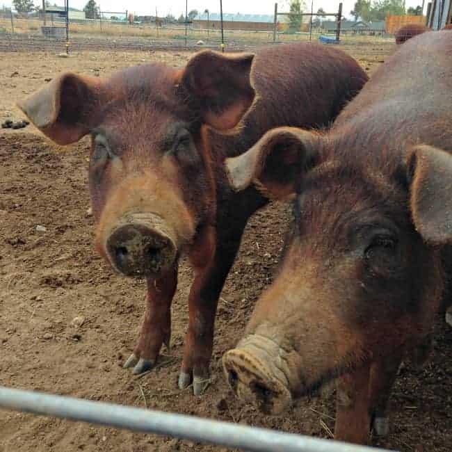 Red-Wattle-Pigs