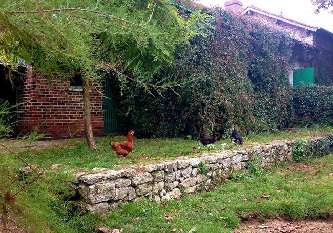 Monet - Chickens